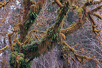 Moss Covered Branches and Tree Trunks on Deciduous Trees, in Temperate West Coast Rainforest, Olympic Peninsula, WA, Washington State, USA