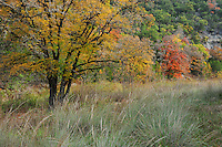Bigtooth Maples (Acer grandidentatum), fall colors, Lost Maples State Park, Hill Country, Central Texas, USA