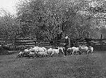 Jerome ID:  Sheep Herder feeding the flock - 1910.  Brady Stewart and three friends went to Idaho on a lark from 1909 thru early 1912. As part of the Mondell Homestead Act, they received a land grant of 160 acres north of the Snake River.  For 2 ½  years, Brady Stewart photographed the adventures of farming along with the spectacular landscapes.