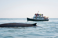 fin whale or finback whale, Balaenoptera physalus, Bay of Fundy, rounding out, with whale watching boat behind, near Deer Island and Campobello Island, New Brunswick, Canada ( Bay of Fundy )