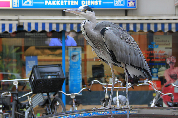 Great Blue Heron on a car roof on the streets of Amsterdam, Netherlands