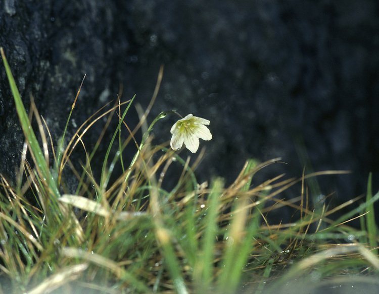 Snowdon Lily (Lloydia serotina) HEIGHT to 12cm. Wiry leaves and cup-shaped flowers 15-20mm across, white with purplish veins (May-July). Restricted, in Britain, to the eponymous mountain range in N Wales, where it is rare and typically found on inaccessible ledges.