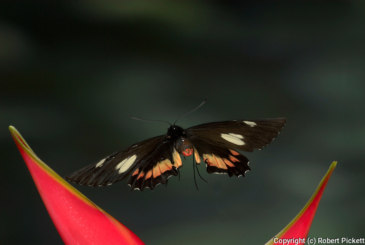 Papilio Butterfly, Parides gundlachianus, in flight, Costa Rica, High Speed photographic technique, free flying, black with red and white patches.Central America....