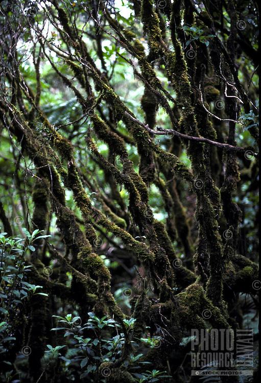 Trees in the rainforest of the Alakai swamp, Kauai