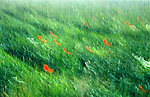 Poppies in a green field