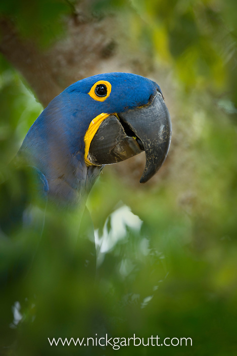 Hyacinth Macaw (Anodorhynchus hyacinthinus) outside nest hole, in forest bordering of the Cuiaba River, Northern Pantanal, Brazil.