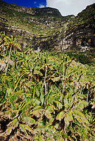 Thatch Palms (Howea forsteriana) at base of Mt. Lidgbird, Lord Howe Island, NSW, Australia