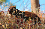 Cinnamon Black Bear, Tower Junction, Yellowstone National Park, Wyoming