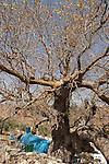 Israel, the Upper Galilee. Atlantic Pistachio (Pistacia Atlantica) tree by the tomb of Rabbi Tarfon in Kadita