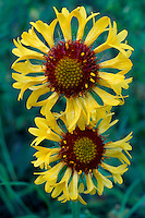 Blanket-flower<br />