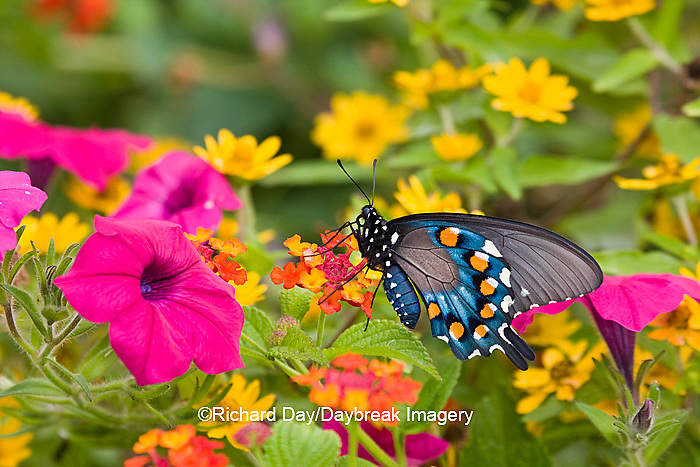 03004-00919 Pipevine Swallowtail (Battus philenor) on Red Spread Lantana (Lantana camara) in butterfly garden, Marion Co.  IL