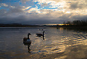 25/02/15  <br /> <br /> Canada Geese are lit by the first rays of light as dawn breaks over Carsington Water, near Ashbourne in the Derbyshire Peak District. <br /> <br /> <br /> All Rights Reserved - F Stop Press.  www.fstoppress.com. Tel: +44 (0)1335 418629 +44(0)7765 242650
