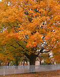 Henry County, IL: Fall colored maple tree with picket fence in town square of Bishop Hill
