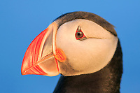 Atlantic puffin, or common puffin, Fratercula arctica, at surise, Latrabjarg, Westfjords, or West Fjords, Iceland
