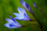 Ithuriel's Spear (Triteleia laxa). Bear Valley, California