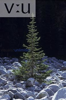 Young Fir tree colonizing glacial debris ,Abies,, Western North America.