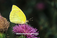 03098-00205 Lyside Sulphur butterfly (Kricogonia lyside) on thistle Starr Co. TX