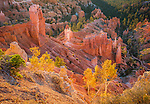 Bryce Canyon National Park, UT: Fall aspen trees catch the morning light on the slopes of Bryce Canyon Ampitheater at sunrise from Sunrise Point
