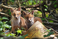 BNPS.co.uk (01202 558833)<br /> Pic: AdamTatlow/BNPS<br /> <br /> Curious fox cubs.<br /> <br /> Cotswold gamekeeper shoots amazing pictures of British wildlife - without the aid of long lenses and elaborate techniques.<br /> <br /> The incredible photos may look like they have been shot from miles away - but amazingly Adam Tatlow is actually just feet away from his wild subjects.<br /> <br /> The 46-year-old's affinity with nature has allowed him to get up close and personal with some of the UK's most endearing wildlife.<br /> <br /> Adam's trusty camera is never far from his side as he goes about his work as a gamekeeper on an estate in the Cotswolds countryside.<br /> <br /> He has built up a stunning portfolio of snaps that lift the lid on rarely-seen birds and animals found in forests throughout the country.<br /> <br /> Adam's subjects have included timid fox cubs, bounding hares, inquisitive hedgehogs and colourful kingfishers.<br /> <br /> He is so at one with nature that he knows how to call animals to him, and often gets within 30ft of them.