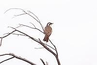 Black-Eared Cuckoo, Arid Lands Botanic Garden, Pt Augusta, SA, Australia
