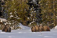 Grizzly Bear with twin cubs.  December.  Snow.  Rocky Mountains.  Wyoming.