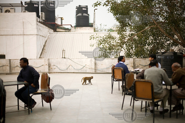 A monkey walking between a table of customers on the terrace of the Indian coffee house, Baba Kharak Singh Marg. The coffee house dates back almost fifty years, first in central Connaught Place, then Janpath and now at the top of a rather shabby shopping centre. Where it is still run by the Indian Coffee Workers Cooperative Society. Once a regular haunt for politicos in Delhi, its clientele is still renowned for being well-read and intellectual.