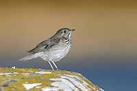 Grey-cheeked Thrush - Catharus minimus