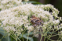 Goldfinch juvenile bird eating Eupatorium purpureum 'Joe White' seeds in garden