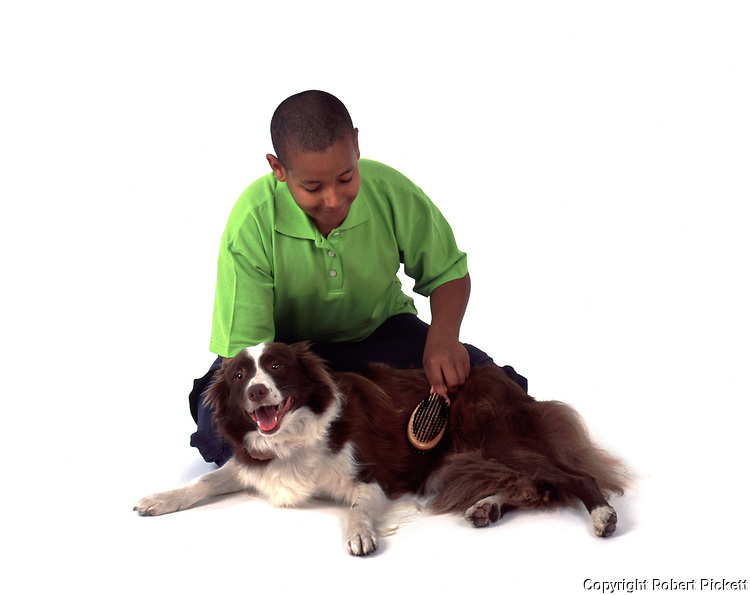 Young Boy, aged 14 years, grooming Border Collie dog, in studio, cut out, white background, brushing long haired coat, laying down, pet