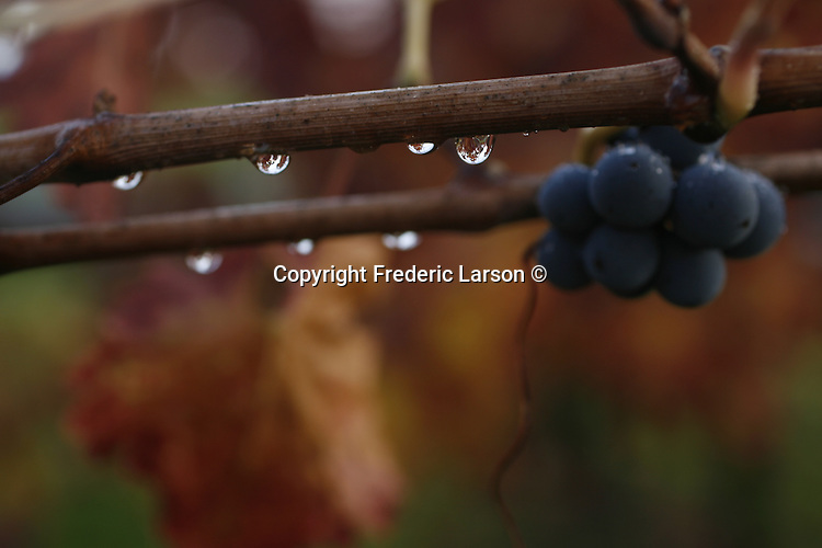 The vineyard after a rain in Napa Valley, California.