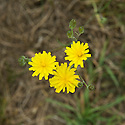 Smooth hawk's-beard (Crepis capillaris), end June.