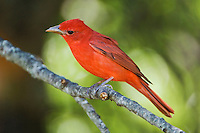 Summer Tanager, Piranga rubra, male, Uvalde County, Hill Country, Texas, USA, April 2006