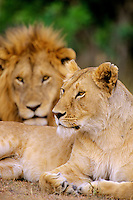 African lion (Panthera leo) and lioness.