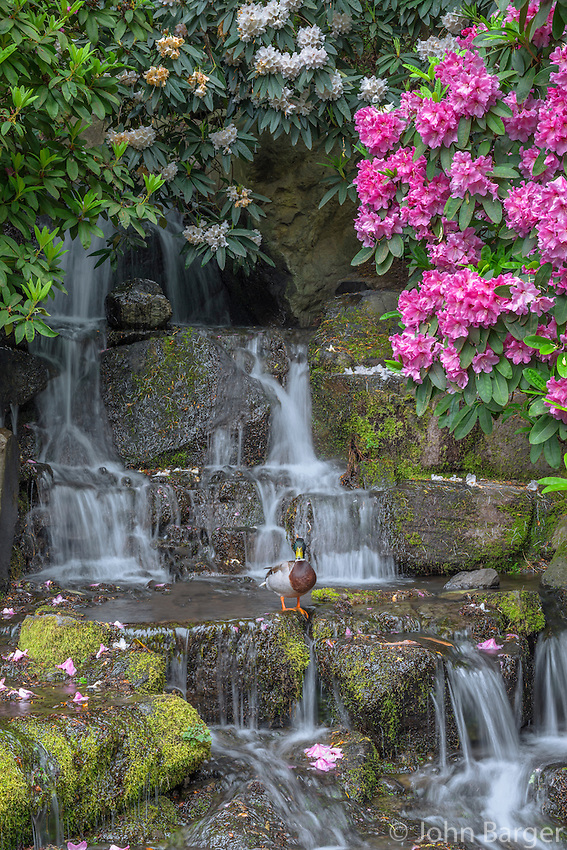ORPTC_D109 - USA, Oregon, Portland, Crystal Springs Rhododendron Garden, Male mallard duck on rocks next to waterfall and blooming rhododendron.