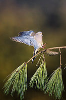 mourning dove, Zenaida macroura, adult landing, Raleigh, Wake County, North Carolina, USA, North America