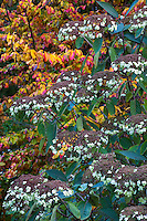 Flowering shrub Hydrangea aspera 'Rocklin' in front of Parrotia persica (Persian Ironwood)  with fall color in Gary Ratway garden