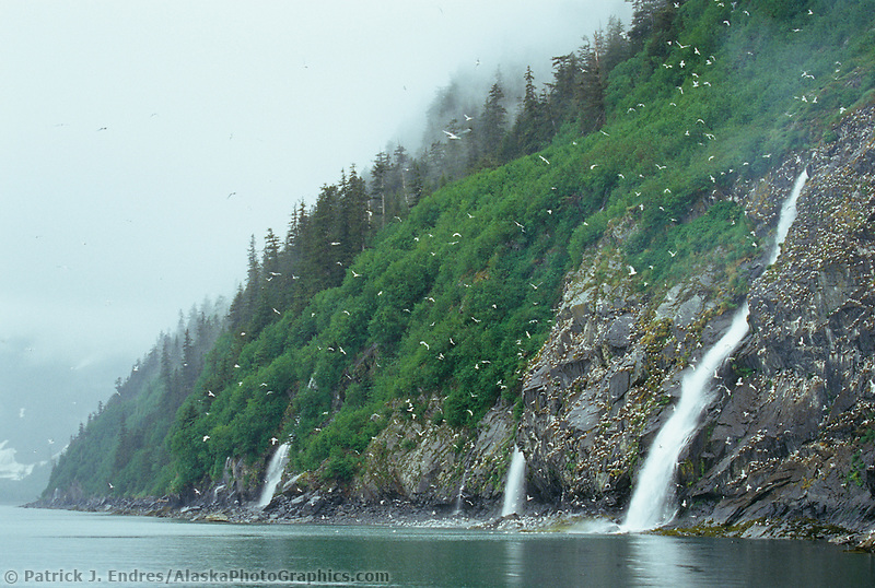 Black-legged kittiwake rookery and waterfall, Passage Canal, Prince William Sound, Alaska.