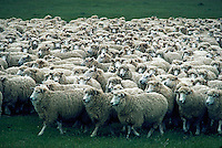 Flock of sheep at Hackthorne Farm, New Zealand