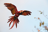 We are fortunate to see Scarlet macaws during our visits to Costa Rica's Pacific coast.
