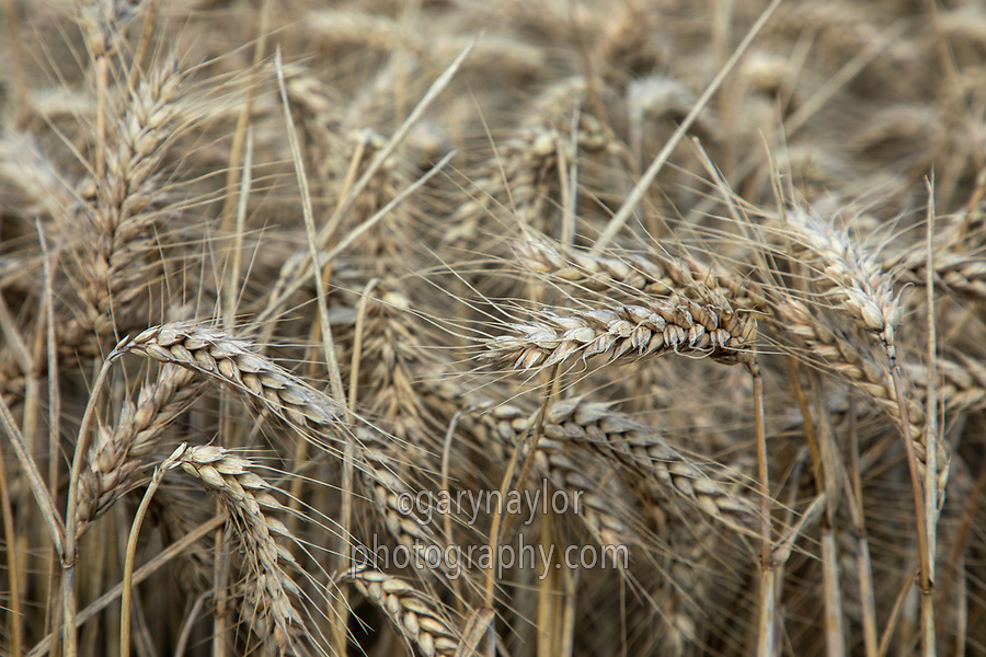 Wheat in ear - Lincolnshire, August