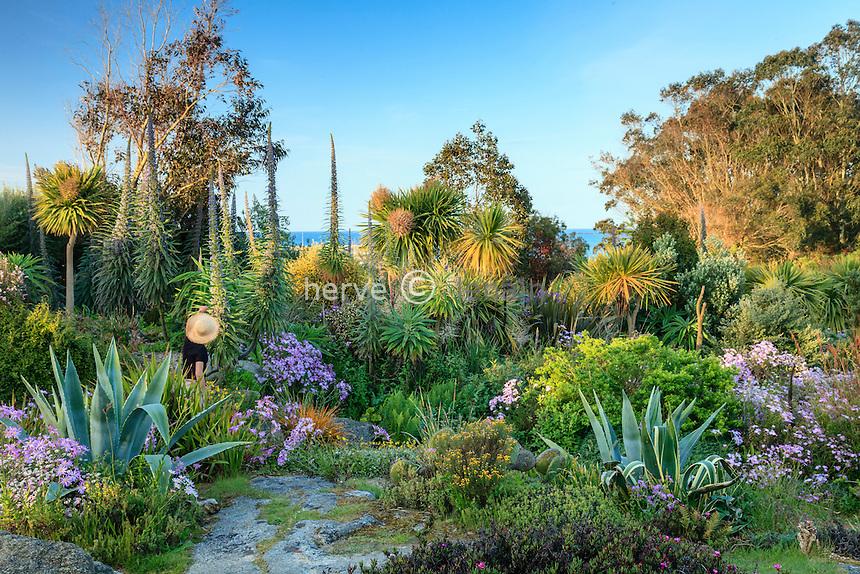 Le jardin exotique de  Roscoff (Finist&egrave;re).<br /> All&eacute;e et vue mer avec les touffes mauves des  s&eacute;ne&ccedil;ons glastifolius,(Senecio glastifolius), vip&eacute;rines hybrides de Roscoff, eucalyptus, agave; cordyline australe...