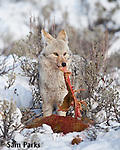 Coyote feeding on carcass. Yellowstone National Park, Wyoming.