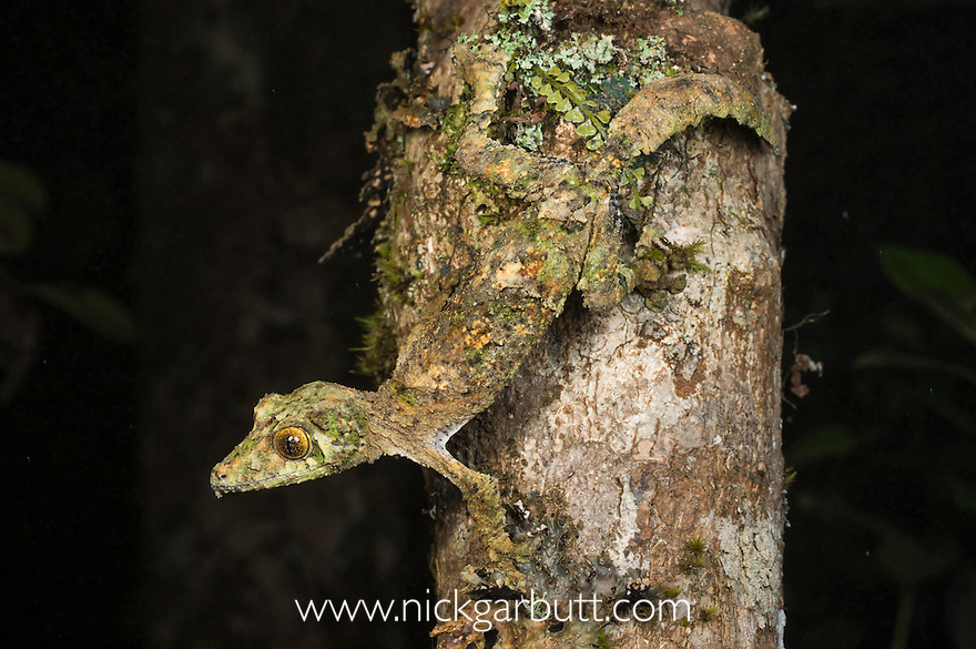 Mossy Leaf-tailed Gecko (Uroplatus sikorae), active at night. Ranomafana NP., south east Madagascar.