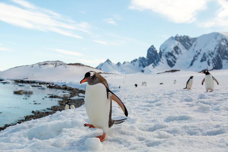 Gentoo penguins on Cuverville Island, Antarctica