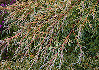 Cupressus macrocarpa 'Greenstead Magnificent', prostrate, spreading, silver gray foliage cultivar of Monterey Cypress evergreen shrub in California garden