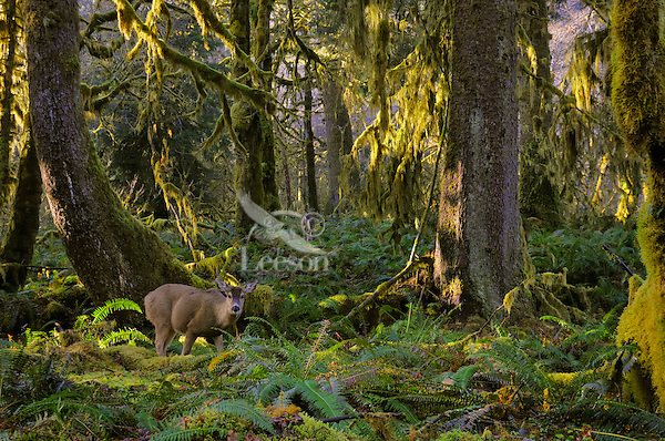Black-tailed Deer (Odocoileus hemionus) in Olympic National Park temperate rain forest.