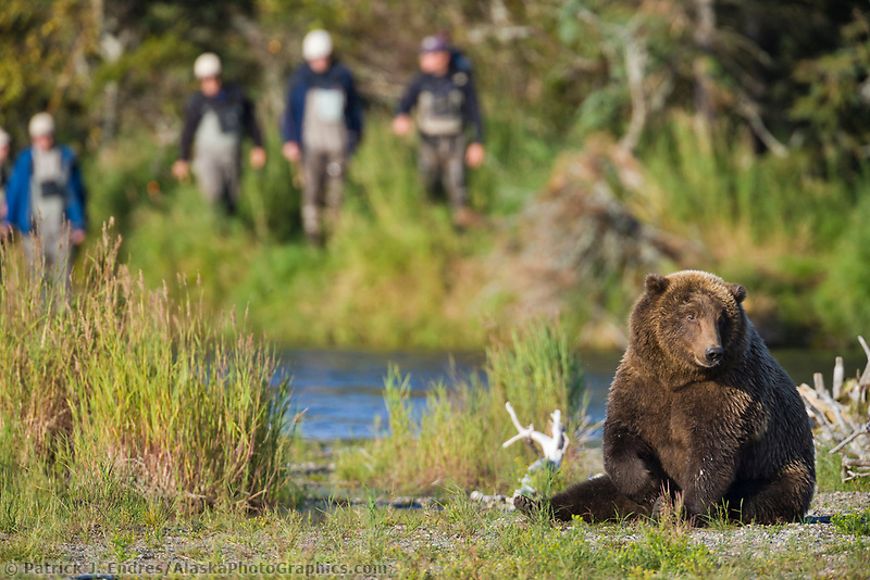 Brown bear and fly fishermen, Brooks River, Katmai National Park, southwest, Alaska.
