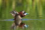 Ruddy Duck (Oxyura jamaicensis) male flapping, DeChambeau Ponds, Mono Lake, California, USA
