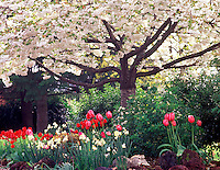 V00289M.tiff Flowering cherry tree with daffodils and tulips. Monroe, Oregon