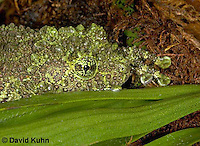 1217-07ww  Vietnamese Mossy Frog - Theloderma corticale - © David Kuhn/Dwight Kuhn Photography.